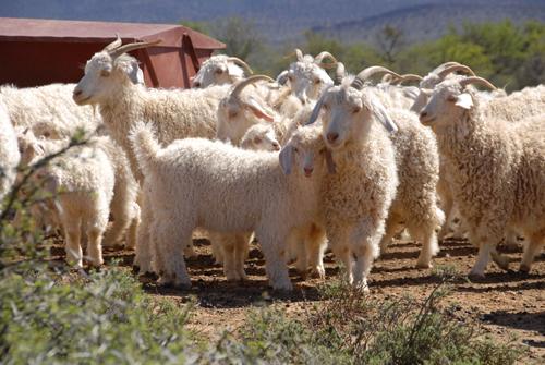 アンゴラ山羊